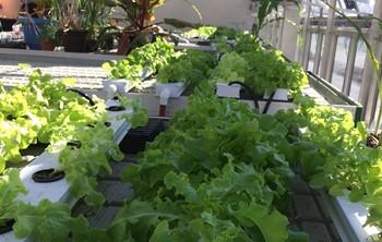 GHS Lettuce Harvest